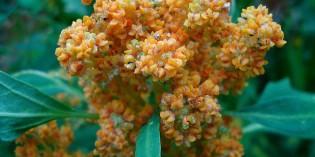 Quinoa, the U.N.'s Superfood